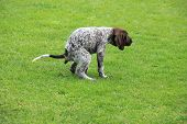 German Shorthaired Pointer Male Puppy, 9 Weeks Old, Doing His Business poster