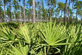 stock photo of saw-palmetto  - Saw Palmetto grows thick in the pine flatwoods of central Florida on a sunny day - JPG