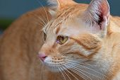 Closeup Head Of Orange Tabby Cat Isolated On Background poster