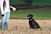 Portrait Of An Obedient Black Labrador Sitting In A Field In Front Of A Dog Trainer poster