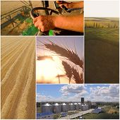 Wheat Harvest Collage. Combine Harvesting Wheat. Agriculture Crop Photo Collage. poster