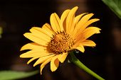 Beautiful Yellow Flower. Macro Of A Yellow Flower In The Garden. A Bud With Yellow Petals. Natural B poster