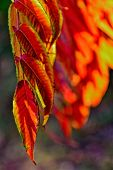 Beautiful Red Leaves Forming An Interesting And Original Autumn Background On A Sunny Day poster