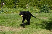 Black Dog Labrador Hybrid And Retriever Plays Tennis Ball.puppy 5 Months Old Labrador Is Running On  poster