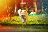 Pomeranian Dog German Spitz Klein Fetching A Toy Running Towards Camera. Small Domestic Pet Concept. poster