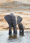 stock photo of veld  - A herd of African elephants (Loxodonta Africana) on the banks of the Chobe River in Botswana drinking water with juveniles and a calf