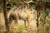 Wild Bengal Tiger (panthera Tigris Tigris) Walking In Forest During Hot Day In Its Natural Habitat.r poster