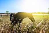 Portrait Of Beautiful Brown Horse Grazing On Meadow At Ranch . Horses In Pasture poster