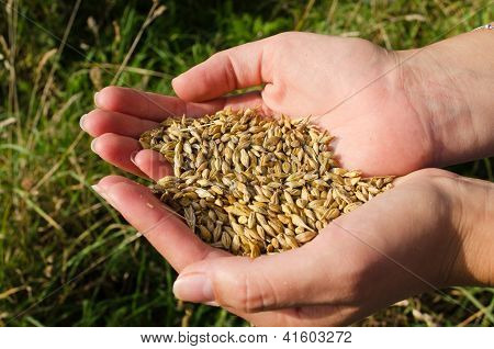 Woman Hands Harvest Ripe Wheat Cereal Grain Autumn