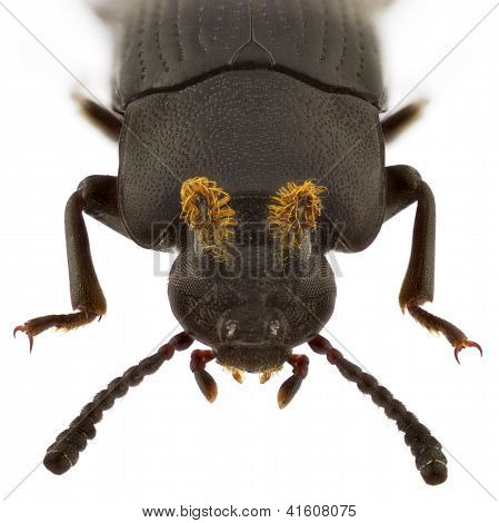 Toxicum Quadricornis