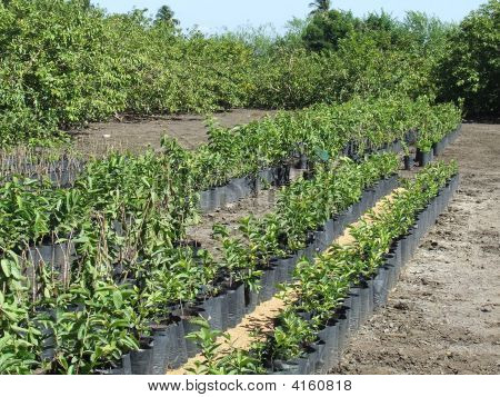 Nursery Plantation Of Guava Trees