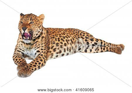 Leopard, Panthera pardus, on white background, studio shot.