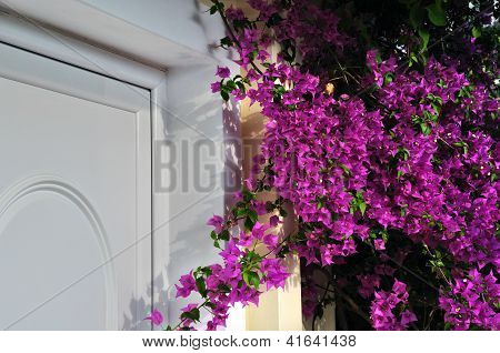 Violet Bougainvillea Flowers