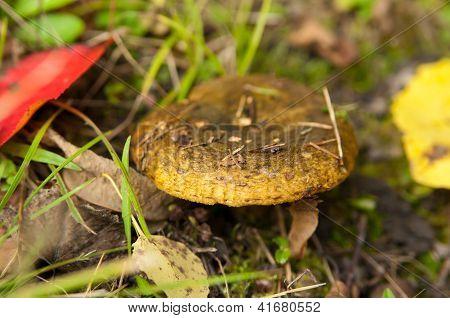 Lactarius Necator