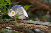 foto of cockatiel  - Cockatiel Eating A green Leaf On A Branch - JPG