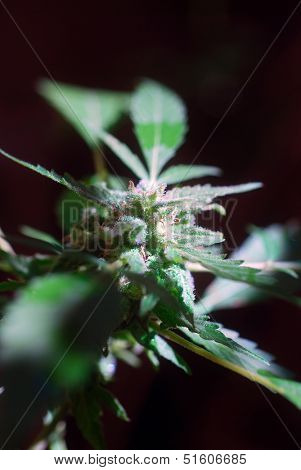 Flower bud on a cannabis plant close to harvest time
