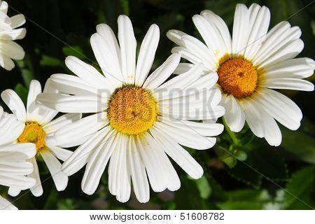 Shasta daisy flower