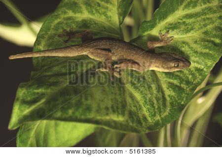 Gecko On Leaf
