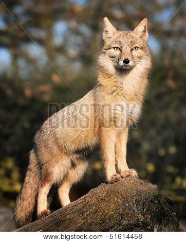 Peering Fox