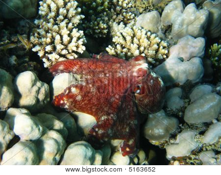 Coral Reef And Octopus