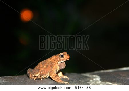 Frog At Nighttime