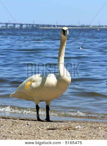 White Swan At The Beach