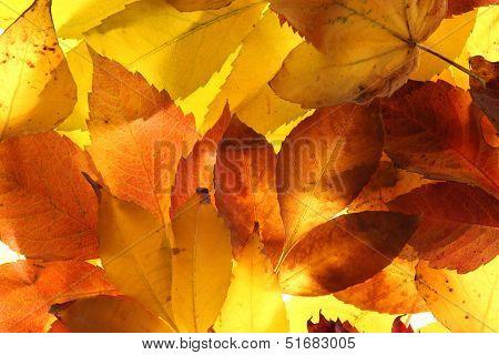 bright autumn leaves, close up