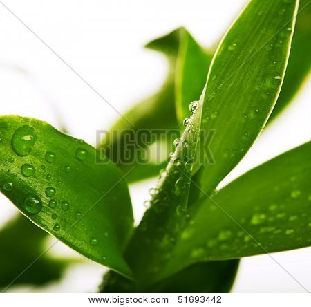 lucky bamboo with water drops isolated on white background