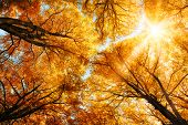stock photo of canopy  - The warm autumn sun shining through the golden canopy of tall beech trees - JPG