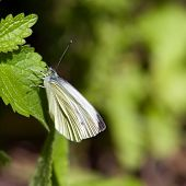 Small White (Pieris Rapae), Sweden