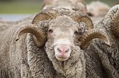 stock photo of ram  - Saxon Merino Rams - JPG
