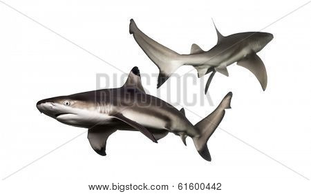 Two Blacktip reef sharks swimming in the opposite direction, Carcharhinus melanopterus, isolated on white
