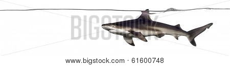 Side view of a Blacktip reef shark swimming at the surface of the water, Carcharhinus melanopterus, isolated on white