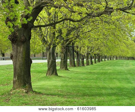 Allee of maple trees