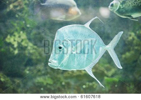 Fish Silver Moonfish,lookdowns-selene Vomer
