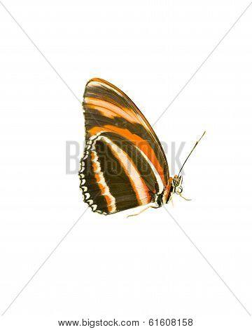 Orange Tiger Butterfly