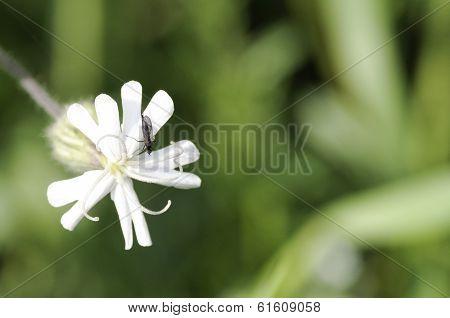 Flower Of Silene