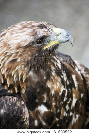 Golden Eagle (aquila Chrysaetos)