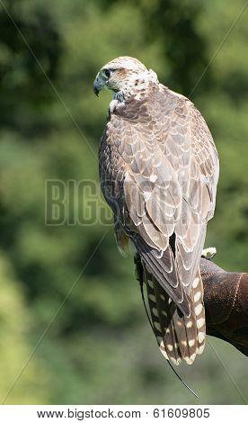 Watchful Saker Falcon (falco Cherrug)