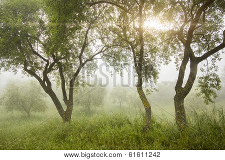 Misty Morning In Olive Grove