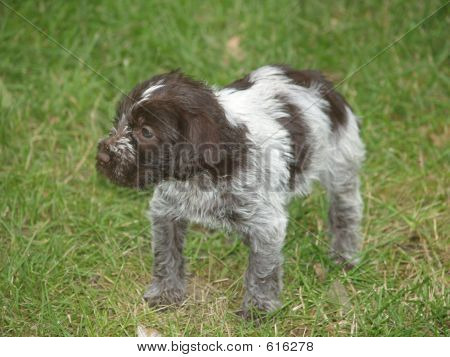 Wire-haired Pointing Griffon Puppy
