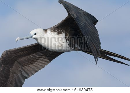 Frigate Bird in Flight - Close Up