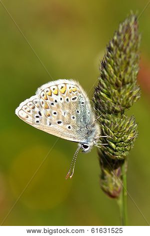 Common blue butterfly on grass seed head