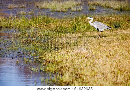Beautiful Grey Heron
