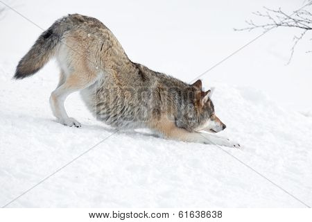 Tired wolf stretching