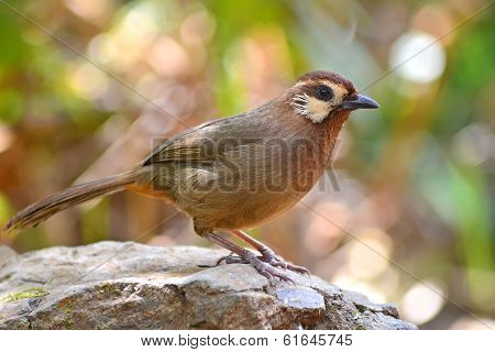 White-browed Laughingthrush Bird