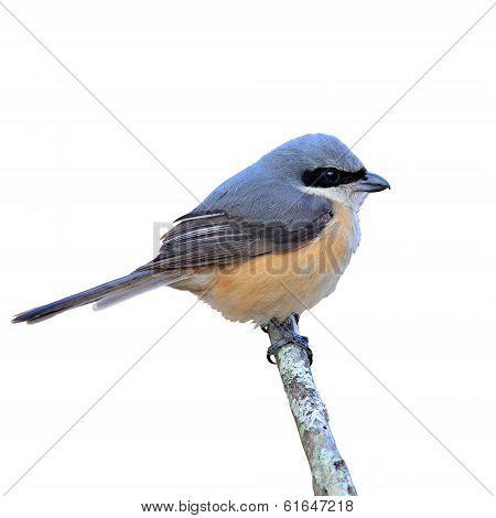 Grey-backed Shrike Bird