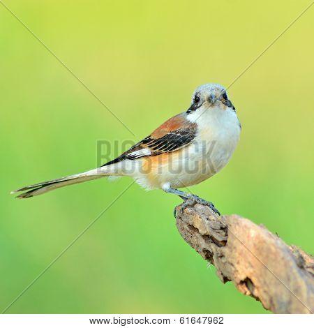Bay-backed Shrike Bird