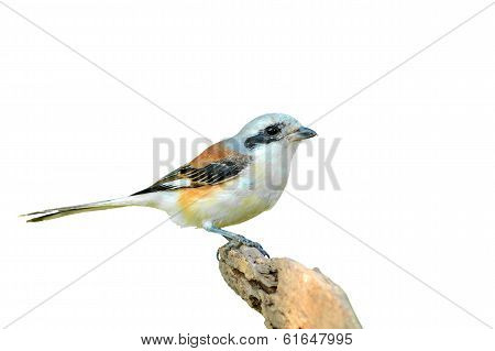 Bay-backed Shrike Bird