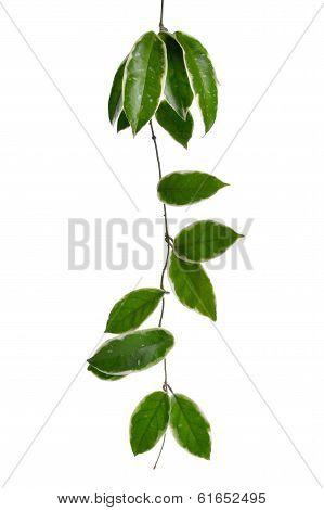 One Hoya Stem Isolated On White Background.